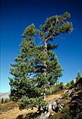 Pinus cembra (Zirbelkiefer) auch Arbe, Arve, Zirbe oder Zirbel genannt am Naturstandort in den Alpen