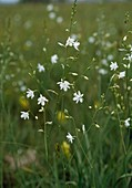 Anthericum ramosum - Ästige Graslilie, Rispige Graslilie
