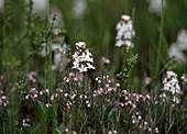 Fieberklee (MENYANTHES TRIFOLIATA) UND Rosmarinheide (Andromeda Polifolia)