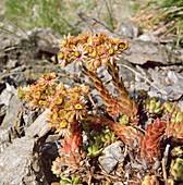 Sempervivum montanum, Berg- HAUSWURZ