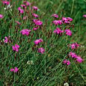 Dianthus deltoides, HEIDENELKE