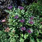 Berg - Flockenblume