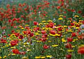 Blumenwiese : Papaver rhoeas (Klatschmohn) und Anthemis tinctoria (Färberkamille)