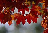 Acer platanoides (Spitz-Ahorn), rote Blätter im Herbst