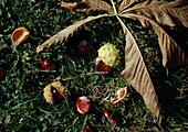 Aesculus hippocastanum (Roßkastanie), reife Kastanien fallen im Herbst