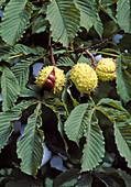 Aesculus hippocastanum (Rosskastanien), Hüllen platzen auf, wenn die Kastanien reif sind