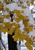 Acer campestre (Feldahorn) mit Schnee auf Herbstlaub