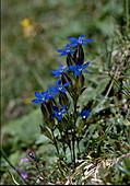 Gentiana utriculosa (Schlauch- Enzian)