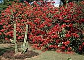 Euphorbia pulcherrima (Weihnachtsstern) am Naturstandort auf den Kanaren