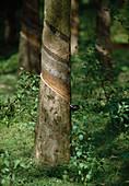 Kautschuk - Plantage in Thailand, zur Saftgewinnung geritzter Baum
