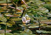 Quakender Teichfrosch (Pelophylax esculentus) zwischen Schwimmpflanzen