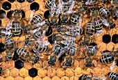Honigbienen auf Waben im Bienenstock, Apis mellifera, Oberbayern, Deutschland / Honey Bees with queen in honeycomb, Apis mellifera, Upper Bavaria, Germany