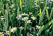 Anthemis arvensis (Acker-Hundskamille) im Weizenfeld