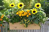 Helianthus annuus (Sonnenblumen), Tagetes (Studentenblumen),
