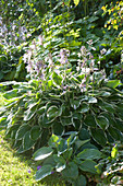 Hosta Hybride 'Francee' (Weißrand-Funkien) im Schattenbeet