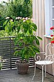 Albizia julibrissin 'Umbrella' (Seidenbaum, Albizie)