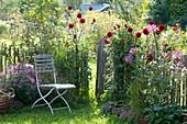 Kleiner Garten mit Dahlia (Dahlien), Cleome spinosa (Spinnenpflanzen)