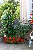 Salvia 'Amistad' (Gartensalbei), Pelargonium peltatum 'Ville de Paris Rot'