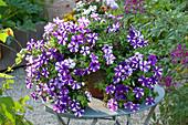 Petunia Bonnie 'Purple Star' (Petunie) auf Tisch