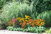 Rudbeckia fulgida 'Goldsturm' , hirta 'Autumn Colors' (Sonnenhut)