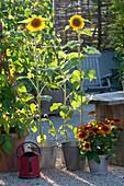 Helianthus annuus (Sonnenblumen) und Rudbeckia hirta