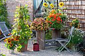 Rudbeckia hirta 'Autumn Colors' (Sonnenhut), Phaseolus (Feuerbohnen)