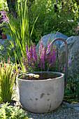 Lythrum salicaria (Blutweiderich) und Gräser