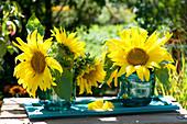 Blüten von Helianthus annuus (Sonnenblumen) in Glasvasen