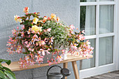 Begonia Summerwings 'Apricot', Fragrant Falls 'Peach' (Duft - Begonie)