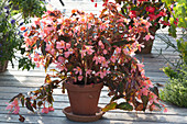 Begonia Waterfall 'Angel Soft Orange' (Begonie)