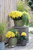 Chrysanthemum indicum (Herbstchrysanthemen)