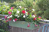Mandevilla Sundaville 'Red' 'White' (Dipladenien) im grünen Kasten