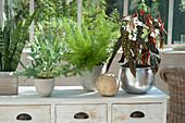Begonia maculata (Begonie) mit gepunkteten Blättern, Asparagus