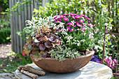 Rostschale herbstlich bepflanzt : Aster dumosus 'Rubin' (Kissenaster)