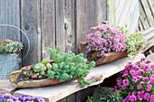 Alte Dachziegel mit Sukkulenten bepflanzt : Sedum anopetalum