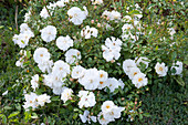 Rosa 'Diamant' ( Beetrose ), weiß