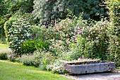 Cornus kousa var. chinensis 'Schmetterling' (Blumenhartriegel), Phlomis