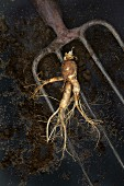 A freshly harvested ginseng root on a pitchfork