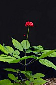 A ginseng plant with berries in front of a black background