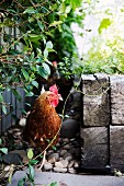 Chicken hiding in the garden