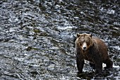 A grizzly bear in Glendale Cove, Canada