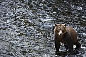 Grizzlybär, Glendale Cove, Kanada