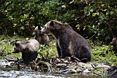 A mother grizzly bear with her three cubs in Glendale Cove, Canada