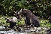 Grizzyl-Bärenmutter mit ihren 3 Jungen, Glendale Cove, Kanada