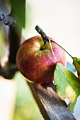 Apple with stalk and leaves
