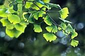 Chinese maidenhair tree (Ginkgo biloba)