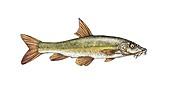 Ebro barbel, illustration
