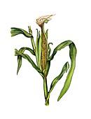 Maize Zea mays in fruit, illustration