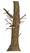 Red-belt conk on Aleppo pine