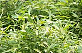 Bamboo (Pleioblastus viridistriatus)
